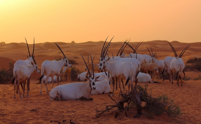 Arabian oryx by Paul M